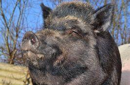 VIDEO: Čopor divljih svinja