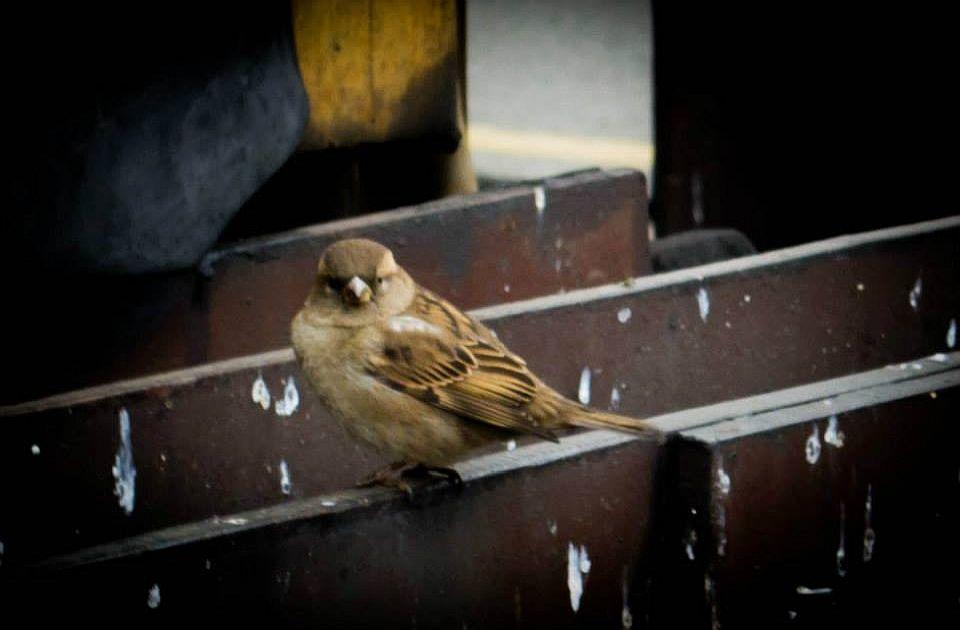 Na svetu postoji 50 milijardi divljih ptica, vrabaca oko 1,6 miliona