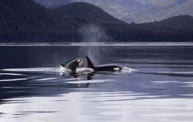 Orke doplivale sa Islanda do Sicilije, biolozi još ne znaju zašto