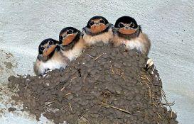 Porodica Gvozdenović iz Kraljeva ima najviše aktivnih lastavičijih gnezda - njih 86