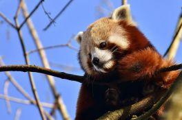 Retka crvena panda pobegla iz zoo vrta u Belfastu