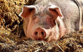 Nedimović: Afrička kuga svinja pod kontrolom u Srbiji
