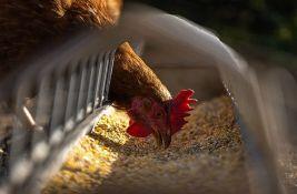 Uzgajivači živine u Srbiji u strahu da će morati da zatvaraju farme