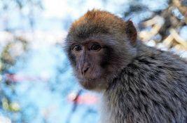 Ženka majmuna prvi put vođa čopora u poslednjih 70 godina