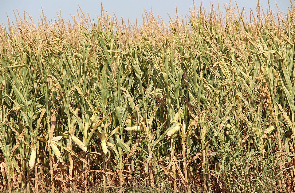 Moguća pojava aflatoksina u kukuruzu