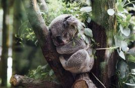 Požari i suša uništili 80 odsto staništa koala, smatraju se