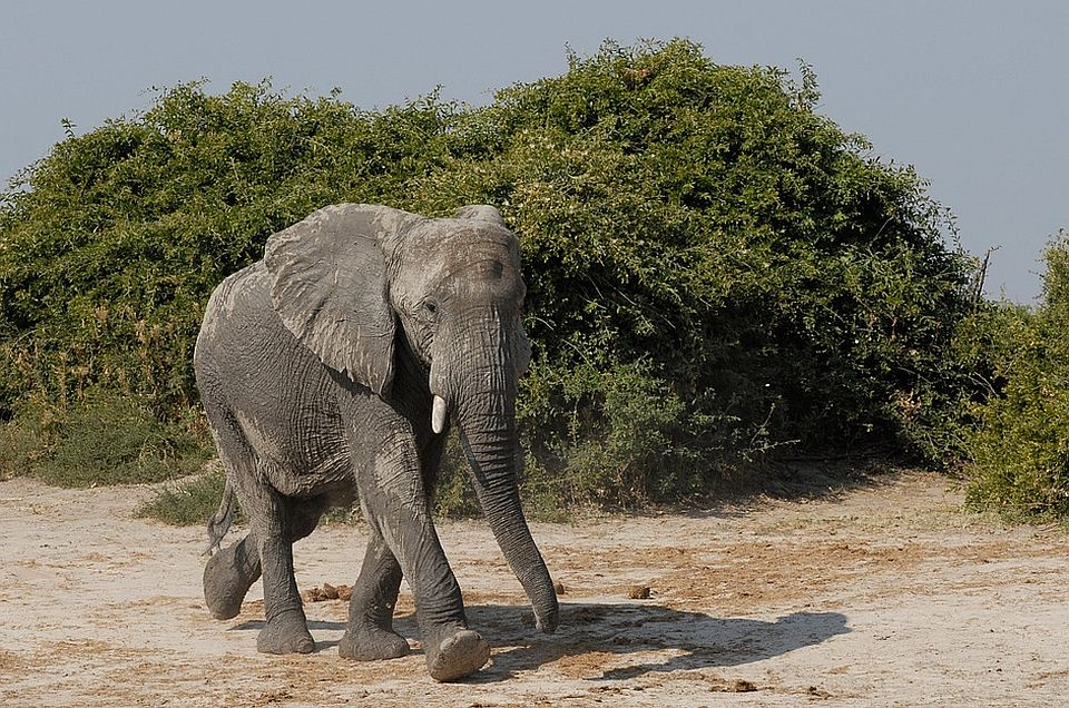 Slon na smrt izgazio 14 ljudi