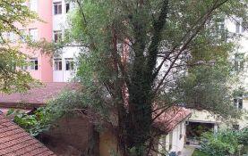 Stanari iz Ilije Vučetića traže od Grada da se ukloni stablo topole iz njihovog dvorišta