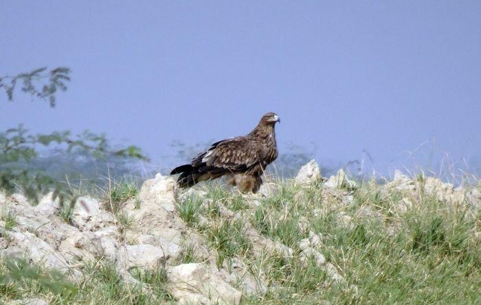 Jedini preostali par orlova krstaša dobio dva nova mladunca, uskoro će poleteti