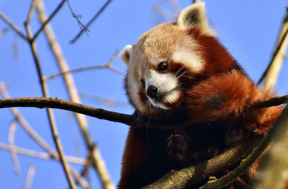 Pronađena crvena panda koja je nestala iz zoo vrta u Nemačkoj