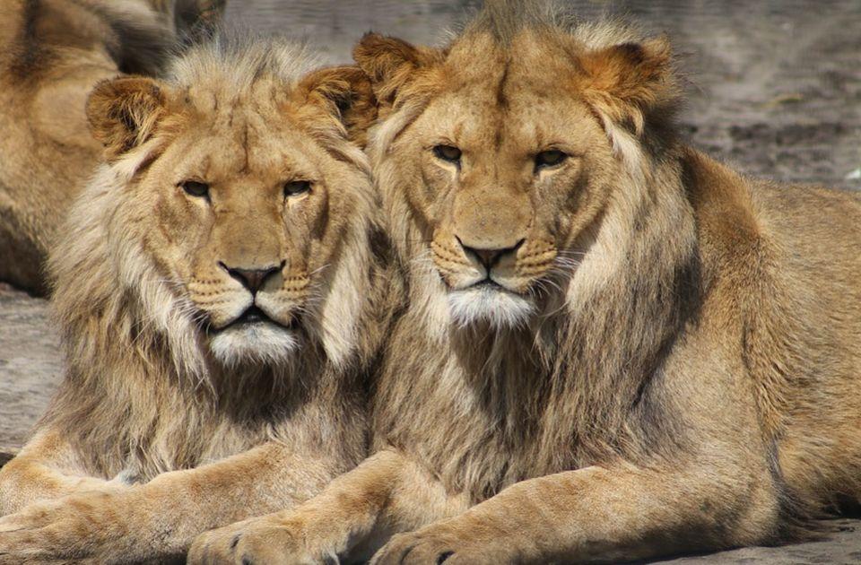 Zoo vrt u SAD počeo da vakciniše životinje protiv kovida