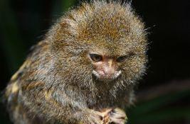 Naučnici utvrdili da postoje dve vrste najmanjih majmuna na svetu