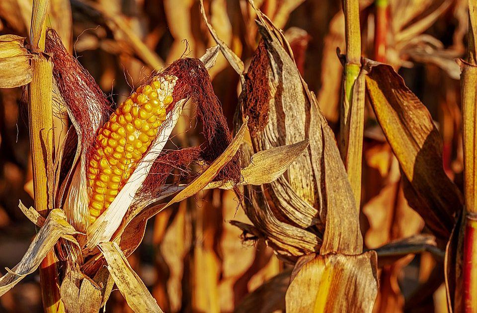 Suša umanjila rod svih poljoprivrednih kultura