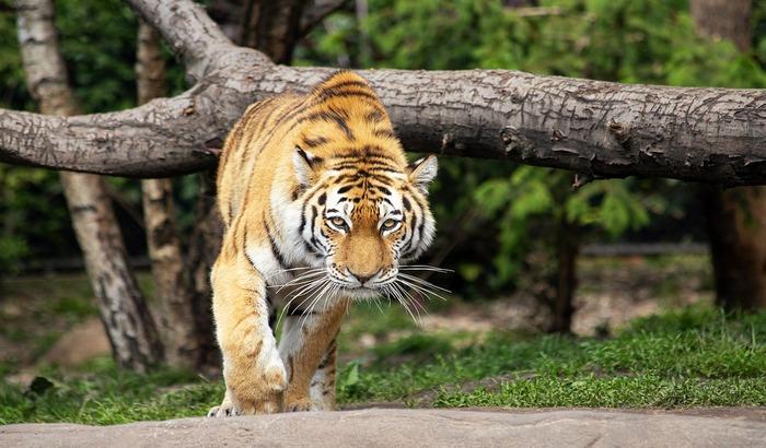 Tigrica usmrtila čuvarku u ciriškom zoološkom vrtu