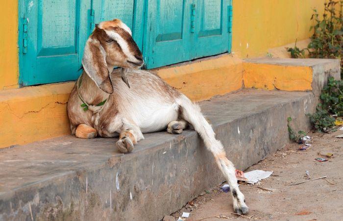 Naučnici: Koze više vole srećne ljude