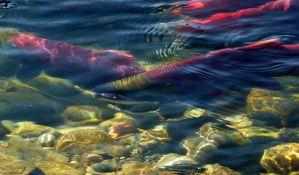Usred pustinje u Dubaiju napravljeno uzgajalište lososa