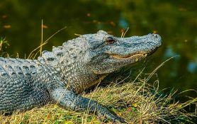 U stomaku aligatora pronašli pločicu psa nestalog pre 25 godina