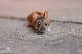 Zatvorenici evakuisani zbog najezde miševa