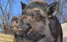 Kikinda: Neuspešan masovni odstrel divljih svinja, lovci ne mogu da ih nađu
