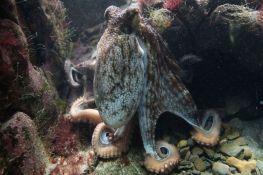 Ženke hobotnice gađaju mužjake školjkama i muljem kad ih nerviraju