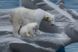 Polarni medvedi će nestati do kraja 21. veka