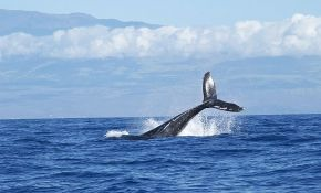 Japan će od 1. jula ponovo dozvoliti ubijanje kitova