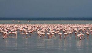 Jezero flamingosa ugroženo zagađenjem