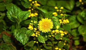 Biljke imaju svoj unutrašnji sat