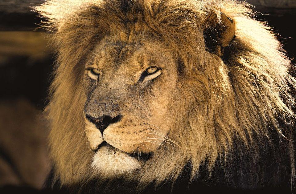 U Kambodži zaplenili kućnog ljubimca - lava