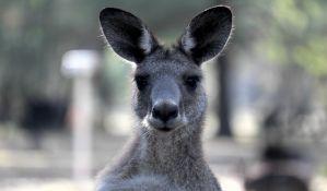Danska policija u potrazi za kengurom