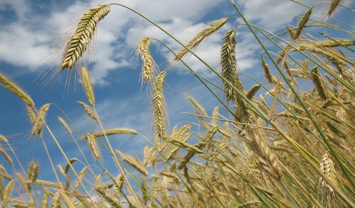 Srbija osma po proizvodnji žita, od danas punopravni član Međunarodnog žitarskog saveta