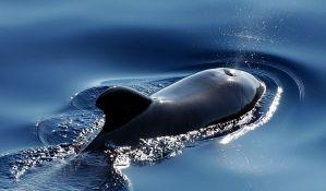 Pedesetak kitova se nasukalo na obalu Islanda