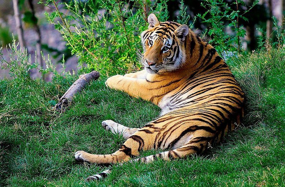 Ubio 70 ugroženih tigrova, uhapšen posle 20 godina