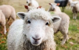 Sud odlučio: Slika ovaca ispod natpisa