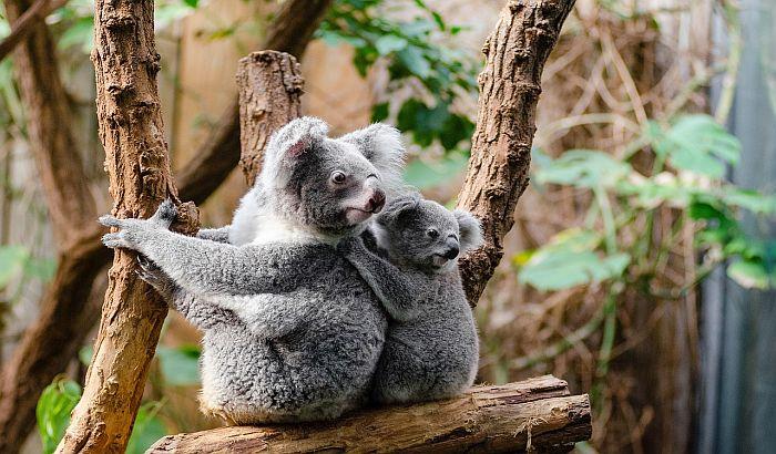 Koale izumiru jer se šume u kojima žive uništavaju