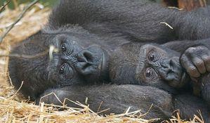 Lavovi i gorila u Pragu imaju koronu