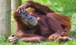Proizvodnja palminog ulja uništava orangutane