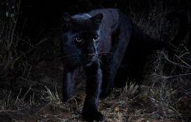 VIDEO: Prvi snimak afričkog crnog leoparda u poslednjih 100 godina