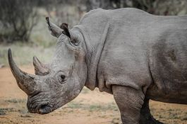 Lovokradice ubile 769 nosoroga