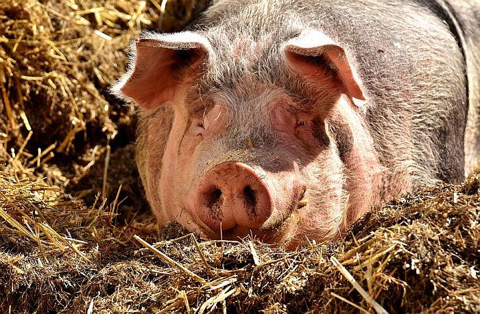 Uspostavljeni brojevi za prijavu uginuća svinja