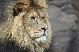 Uhapšeni zbog ubijanja i komadanja lavova