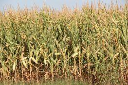 Zrenjanin: Rapisan poziv za korišćenje državnog poljoprivrednog zemljišta bez naknade