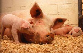 Naučnici delimično oživeli svinjski mozak nakon smrti životinja