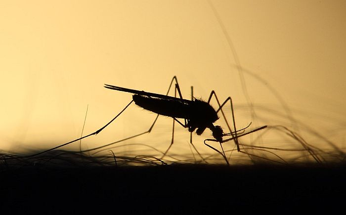 Naučnici puštaju sterilne komarce u prirodu u borbi protiv malarije