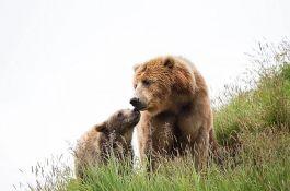 Medvedica i meče zalutali u Talin, dronovima pokušali da ih pronađu i poteraju ka šumi