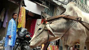 Političar u Indiji uverava ljude da indijske krave proizvode zlato u mleku