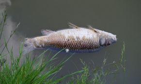 Masovno uginuće ribe u kanalu kod Srbobrana zbog zagađene vode