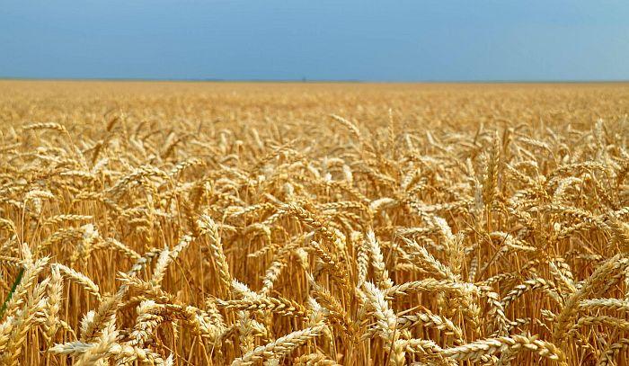 Dozvoljen uvoz pšenice bez carine jer domaće žito nije dovoljno kvalitetno