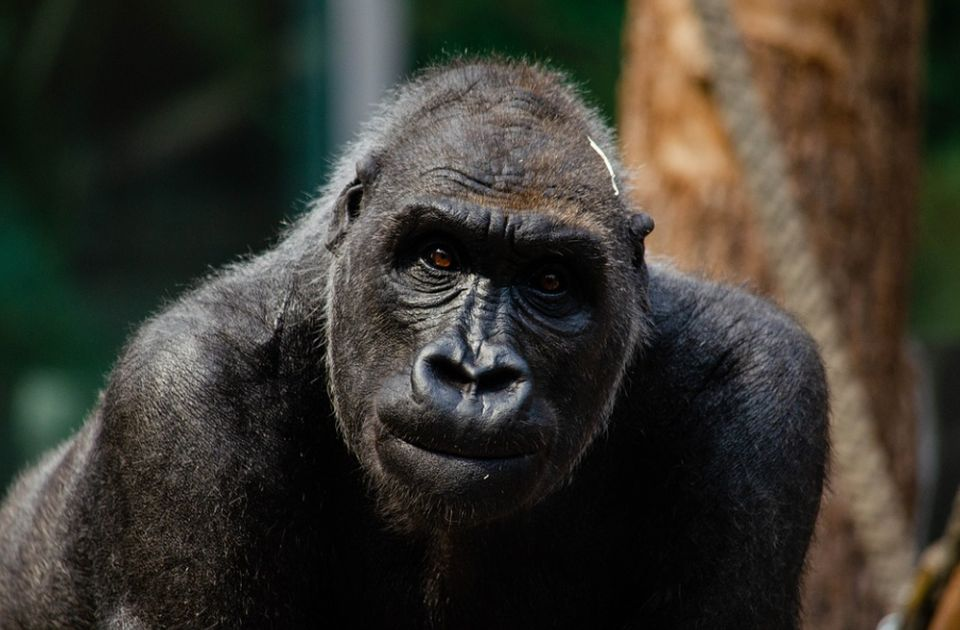 Gorile zaražene virusom korona