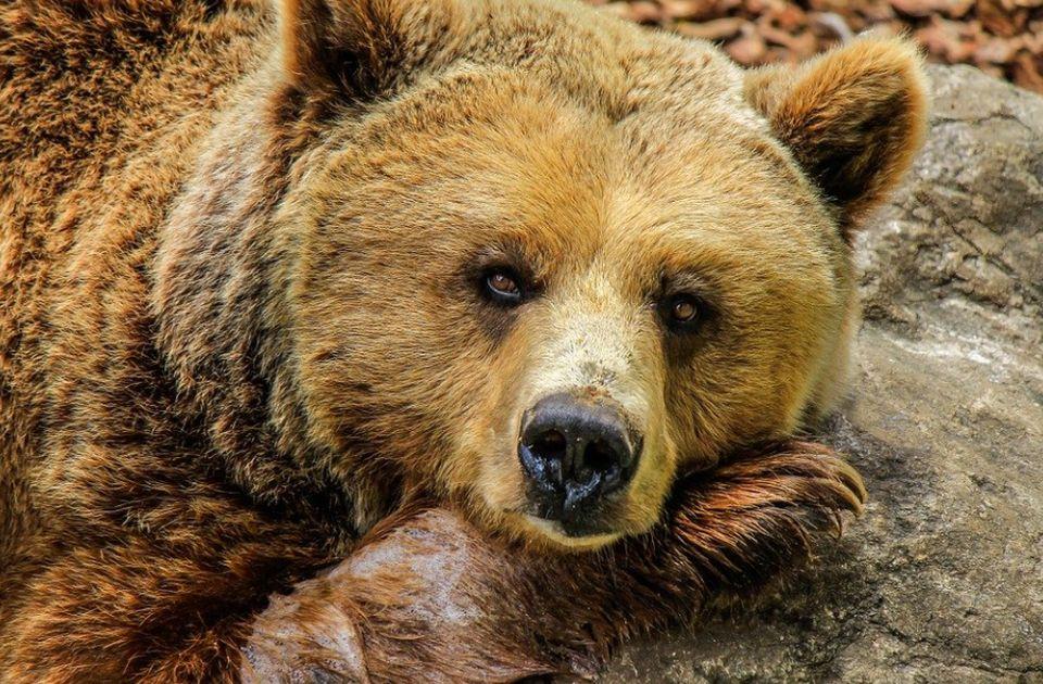 VIDEO: Poslednji medvedi oslobođeni iz cirkusa u Hanoju posle izveštaja o zlostavljanju